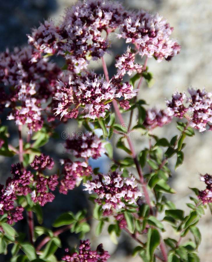 Origanum vulgare, Oregano. Perennial herb with opposite leaves and white to pink flowers in terminal branched clusters with darker bracts, important flavouring royalty free stock photography