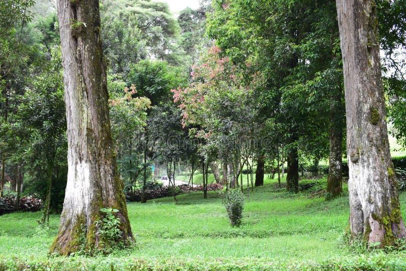 Origen de dos árboles en la montaña pangalengan del parque fotografía de archivo libre de regalías