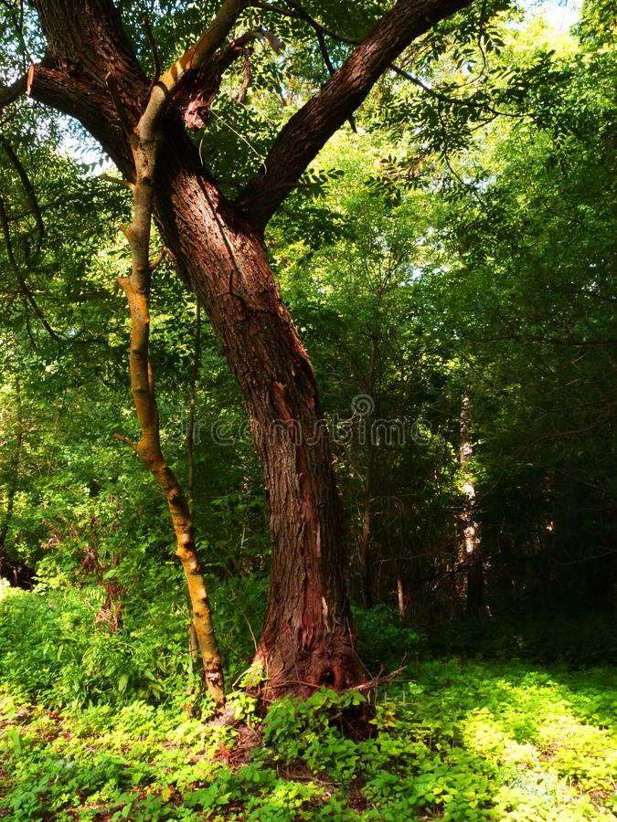 Original and beautiful tree. Leaning tree in the forest. royalty free stock photo