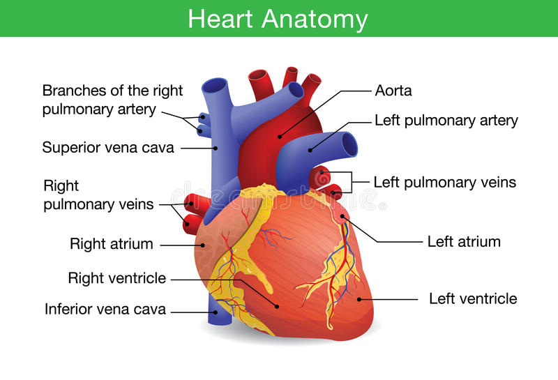 original för illustration för anatomihandhjärta målad mänsklig royaltyfri illustrationer