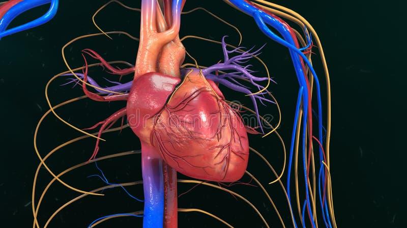 original för illustration för anatomihandhjärta målad mänsklig royaltyfri bild