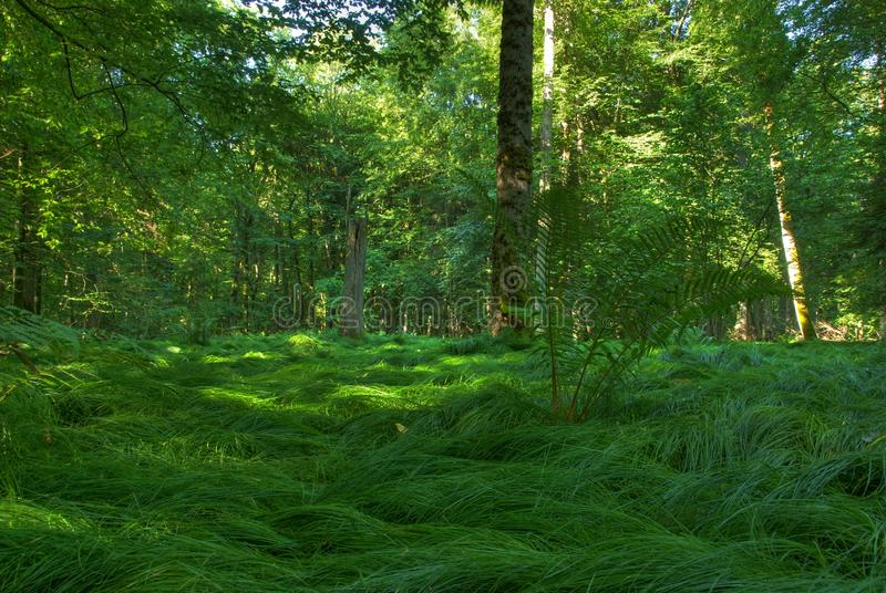 Download Original Forest In Bialowiesa Stock Photo - Image: 20123908