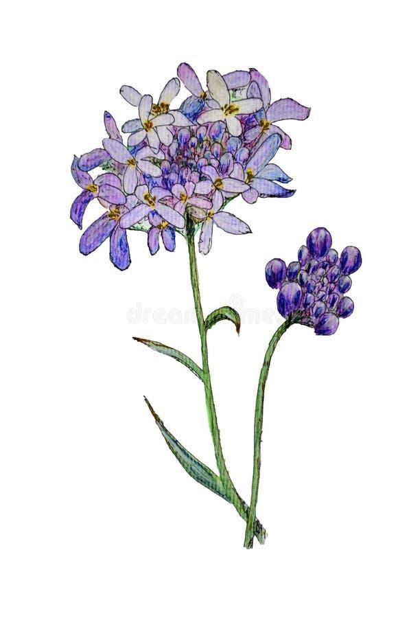 Original watercolor painting of iberis flower vector illustration