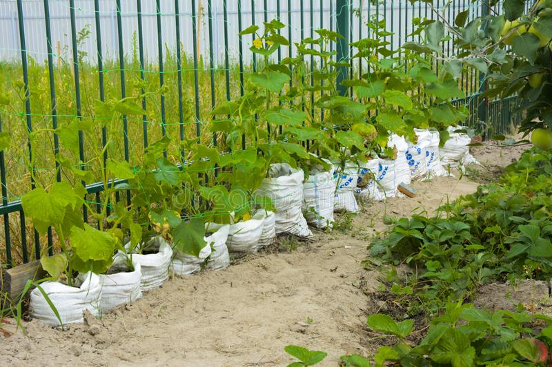 The original way of rapid growth of cucumbers in bags. Saving sp royalty free stock photo