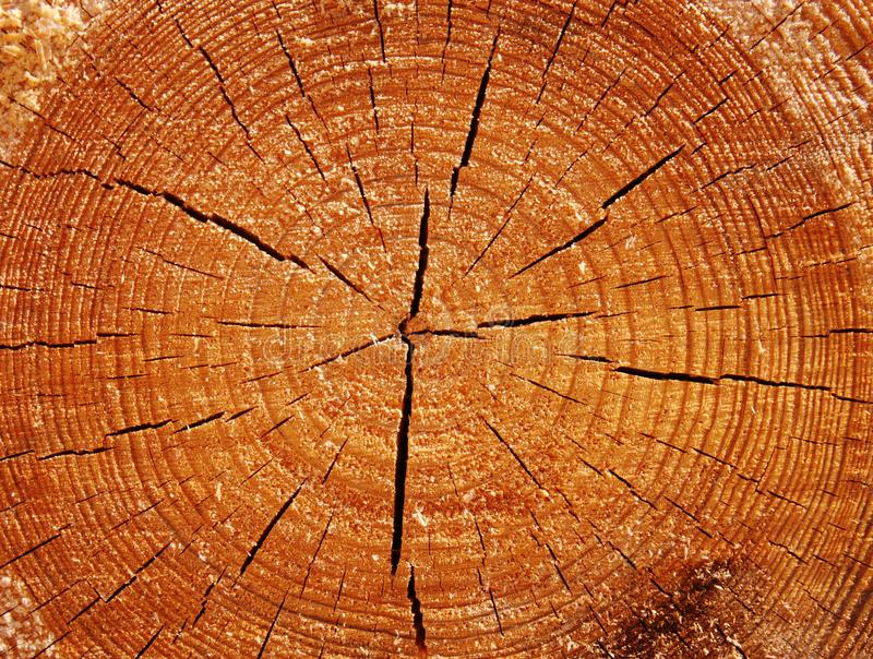 Original wood texture on the cut. Texture of freshly cut tree close-up.Disperse from the center of the cracks in the form of rays forming a beautiful pattern