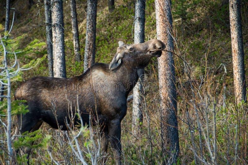 Orignaux canadiens dans les buissons photos libres de droits