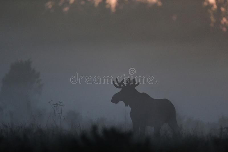 Orignaux dans la brume photographie stock