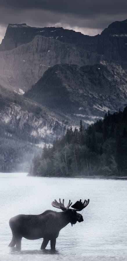 Orignaux dans le lac photos stock