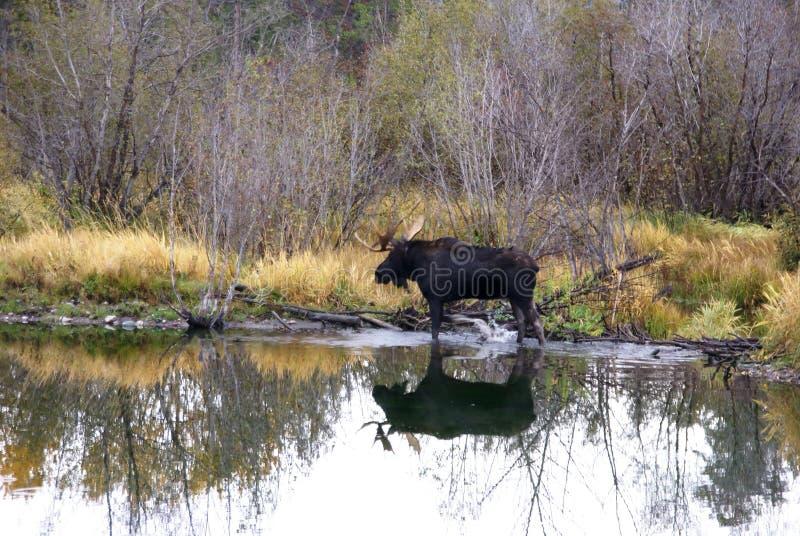 Orignaux de Bull dans le marais image stock