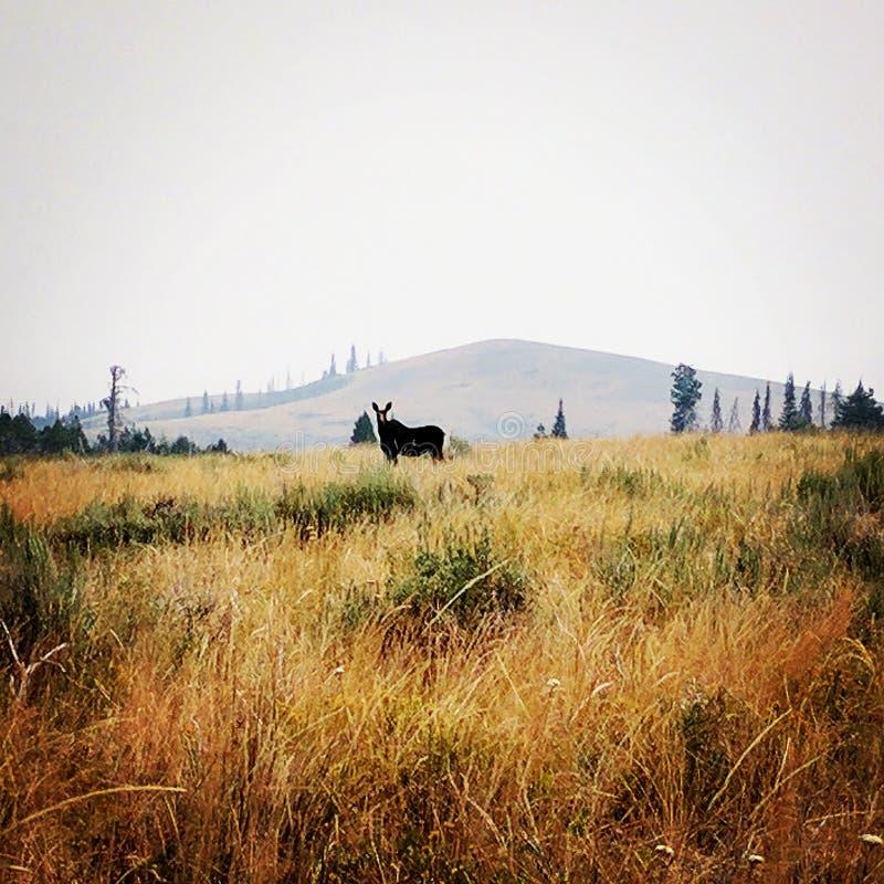 Orignaux de l'Idaho photo stock