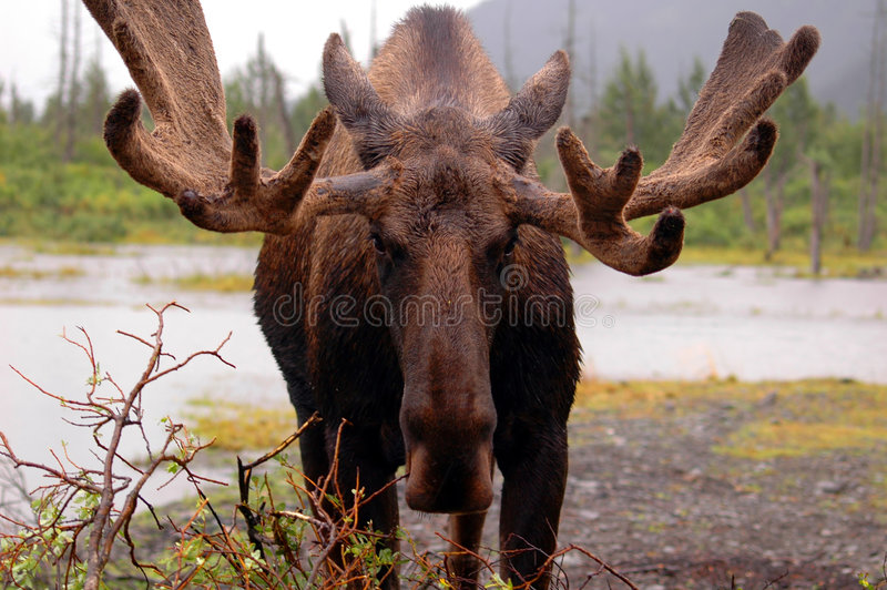 Orignaux en Alaska photos stock