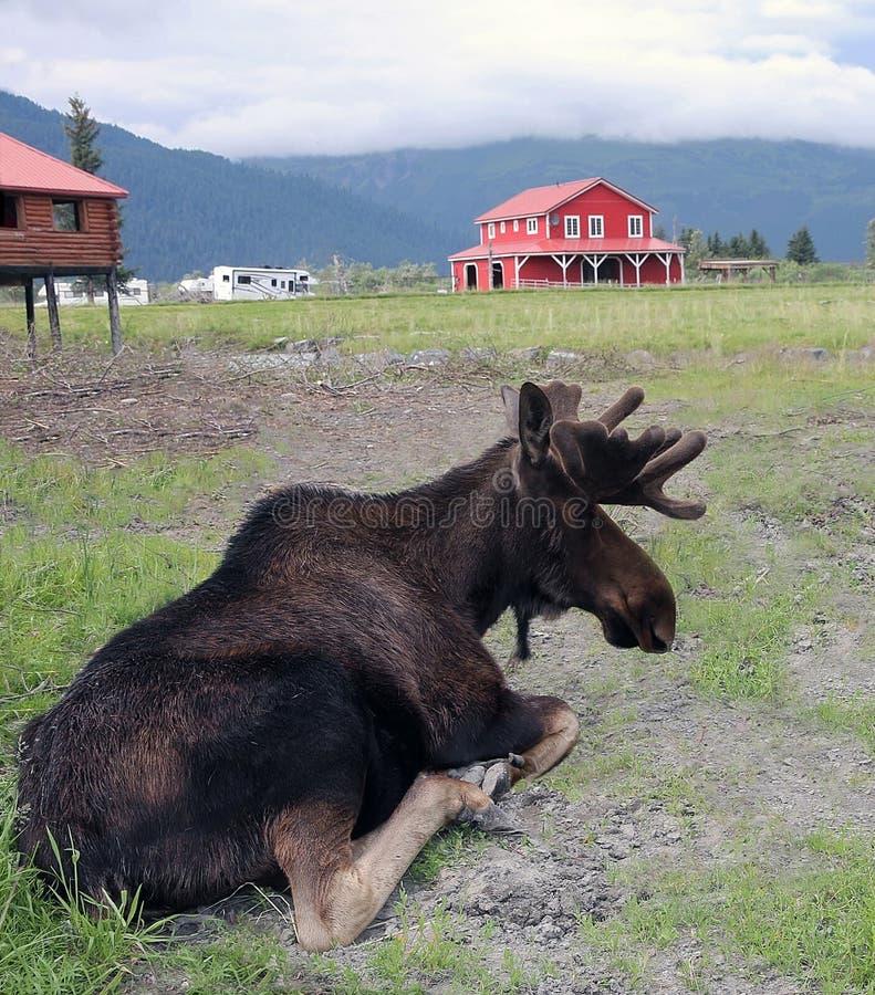 Orignaux en Alaska photographie stock