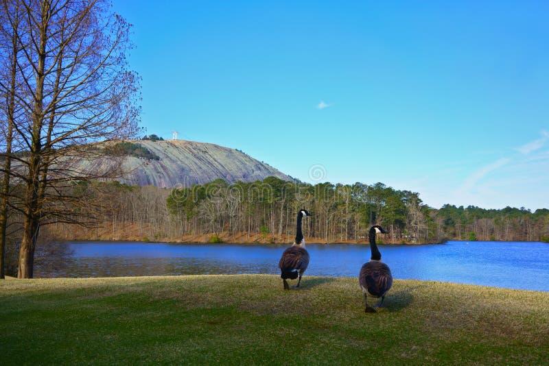 Orilla del agua salvaje de dos gansos de Canadá durante la migración en el parque de Stone Mountain, estado de Georgia, los E.E imagenes de archivo
