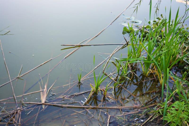 Orilla del río del Samara con las cañas verdes claras en el agua Dnipro, Ucrania foto de archivo