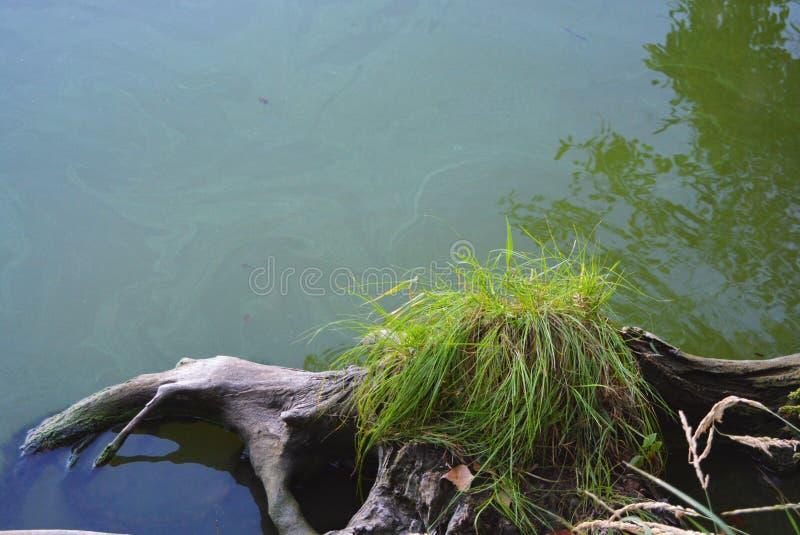 Orilla del río del Samara con las raíces grises del árbol, los arbustos verdes de la hierba y la reflexión del agua Dnipro, Ucran foto de archivo libre de regalías
