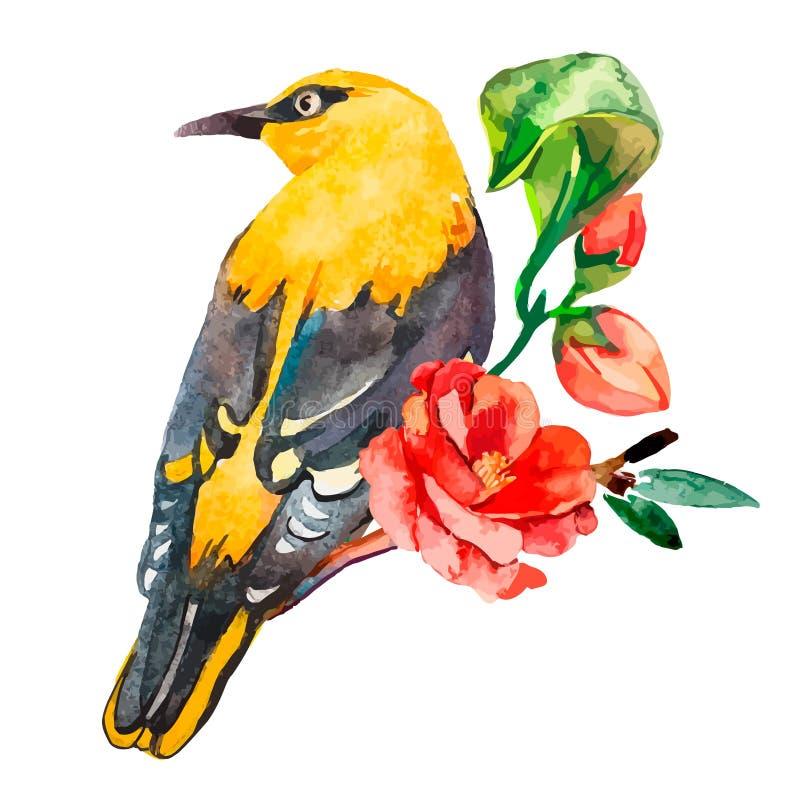 Oriole που απομονώνεται στο άσπρο υπόβαθρο Με το εξωτικό πουλί watercolor ελεύθερη απεικόνιση δικαιώματος