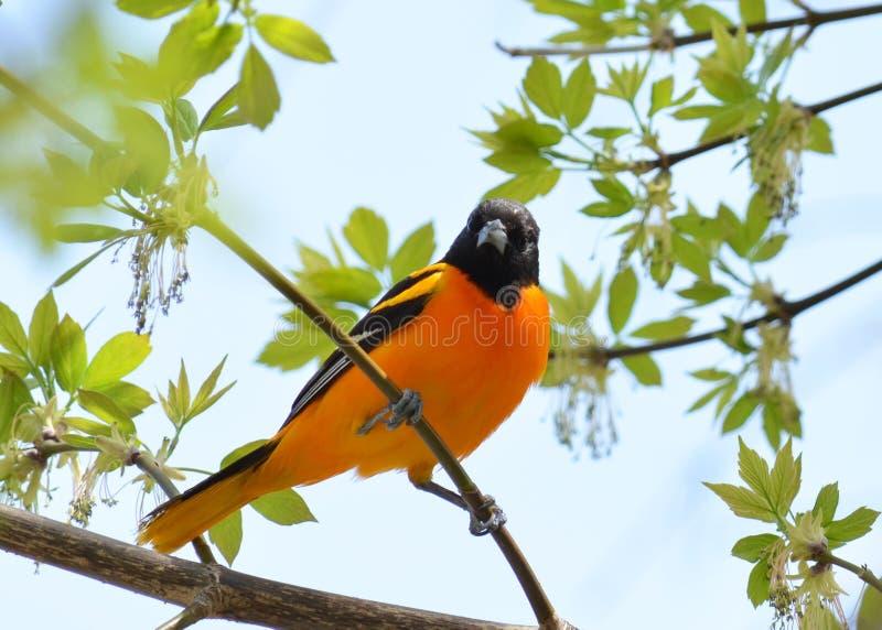 Oriole Bird foto de stock royalty free