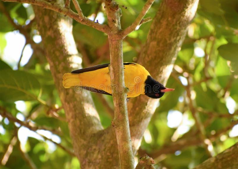 Oriole Bird On The Tree encapuçado preta foto de stock royalty free