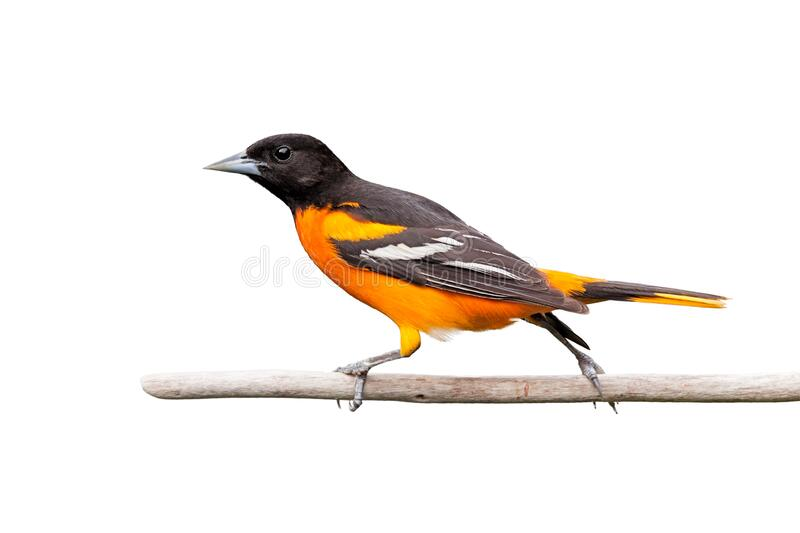 Oriole Struts Across a Branch. With its legs fully spread apart, a baltimore oriole walks across a branch. White background stock photography