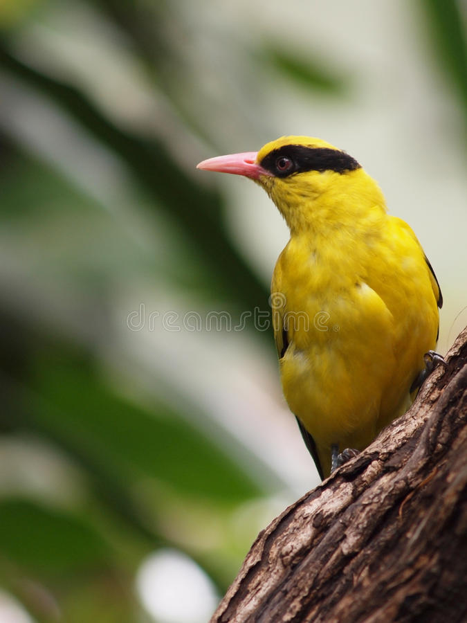 Oriolus. Bird on a tree royalty free stock image