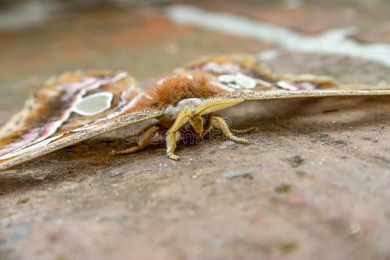 Orizaba silkmoth på golvet arkivfoto
