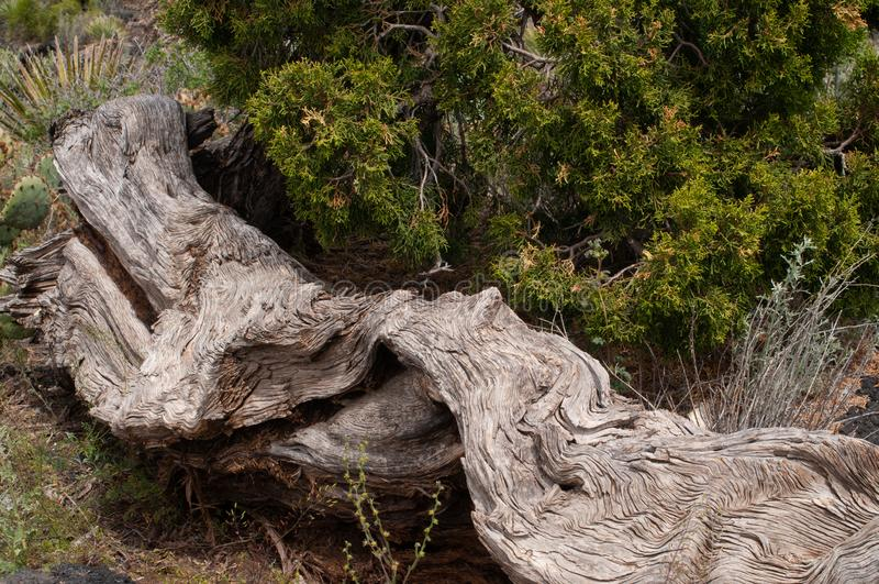 Orizzontale del tronco di albero morto e cedro vivente, valle di area di ricreazione del fuoco vicino a Carrizozo, nanometro fotografie stock