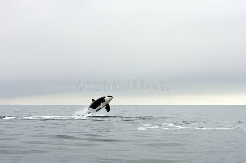 Orka stock afbeeldingen