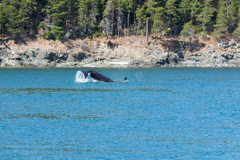 Orka fuksa żebro fotografia stock