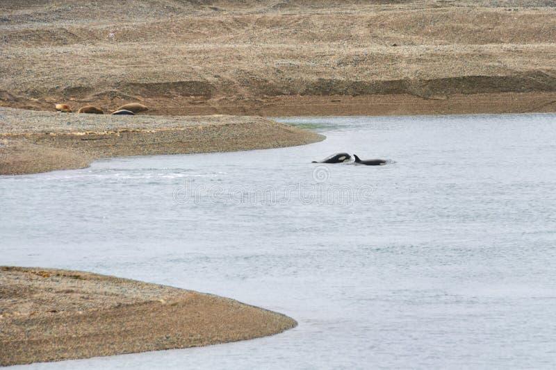Orka in het Valdes-Schiereiland royalty-vrije stock fotografie