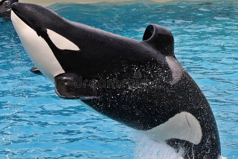 Orka Overzeese Wereld San Diego royalty-vrije stock afbeelding