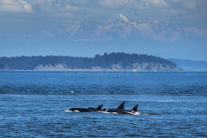 Orka's die in Vancouver zwemmen royalty-vrije stock foto