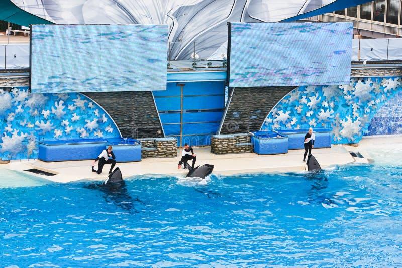 Orka's in SeaWorld stock fotografie