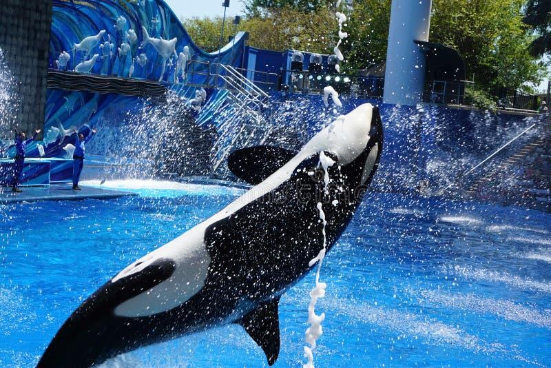 Orki Wielorybi doskakiwanie dla gości zdjęcie royalty free