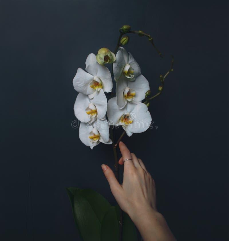 Orkidéаnd hand i den lviv regionen arkivbild