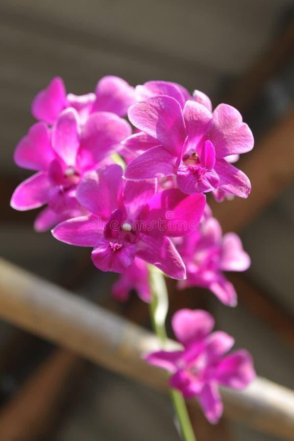 Orkidé Aerides royaltyfria bilder