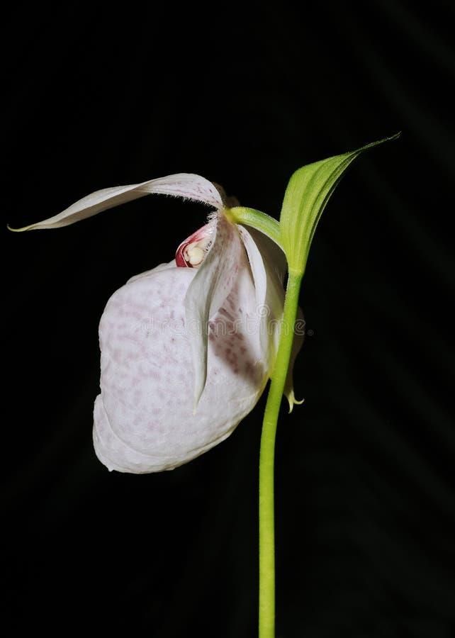 Orkidé för häftklammermatare för Formosa dam` s royaltyfri foto