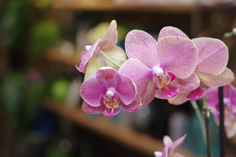 Orkidé för makrorosa färgblomma arkivfoto