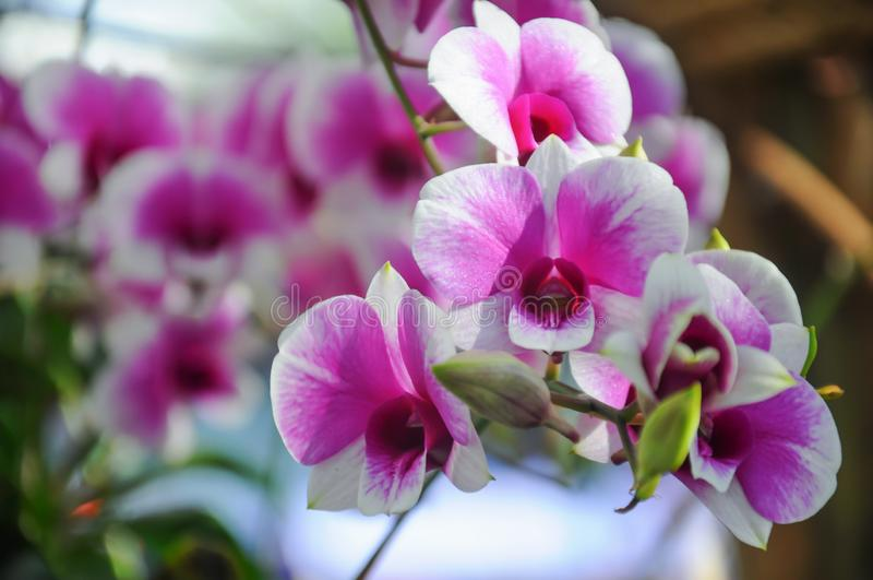 Orkidé i blom som tänds av solljus arkivbilder