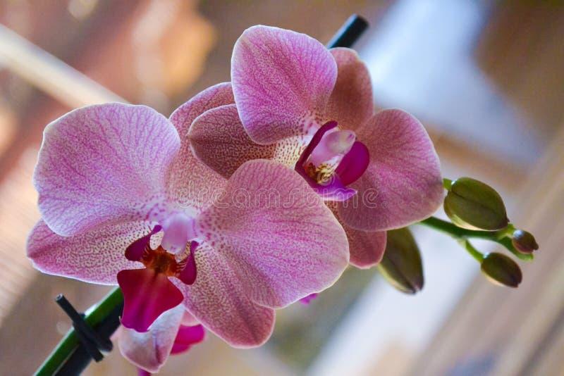 Orkidé i blomning royaltyfri fotografi
