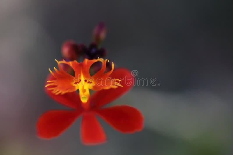 Orkidé med apautseende royaltyfri foto