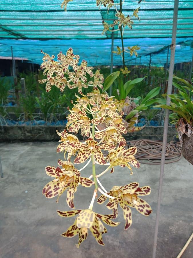 Orkidé, om vi hör denna orkidé Känselskräck majoriteten med namnet royaltyfri foto