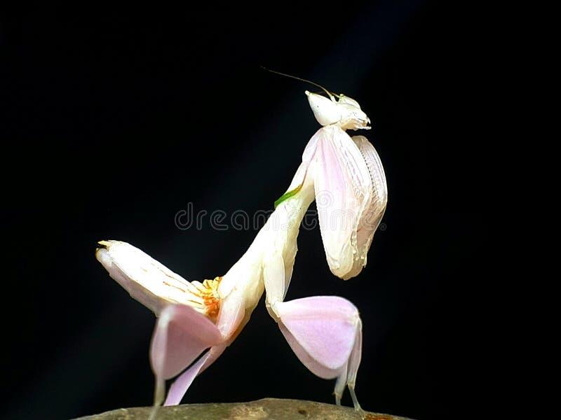Orkidébönsyrsa royaltyfria foton