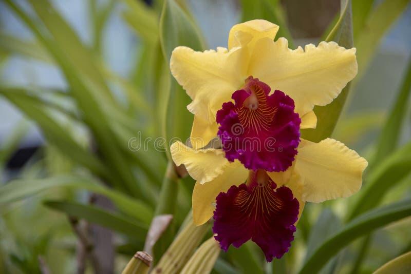Orkidéblom royaltyfri foto