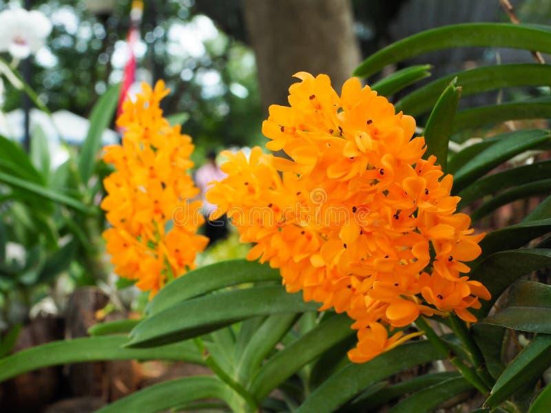 Orkidéblomma i trädgården royaltyfria bilder
