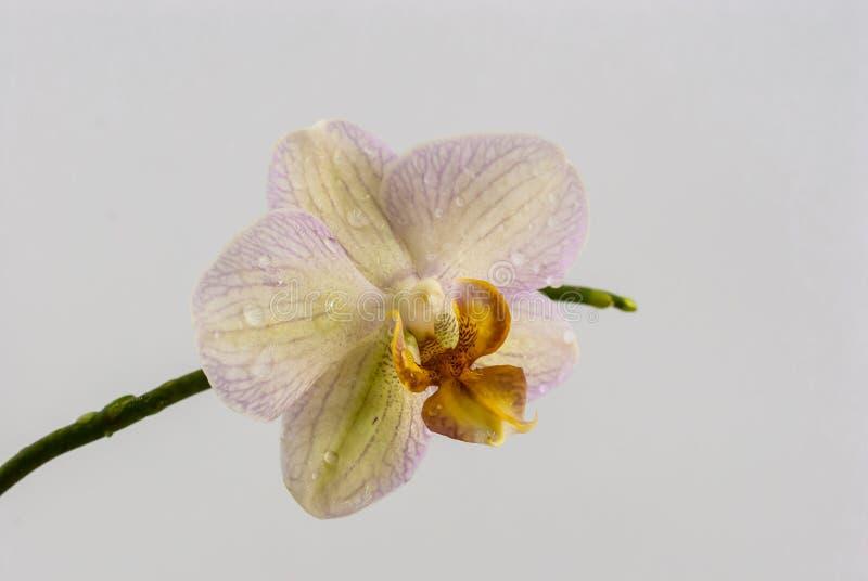 Orkidéblomman med vatten tappar på en vit bakgrund arkivfoto