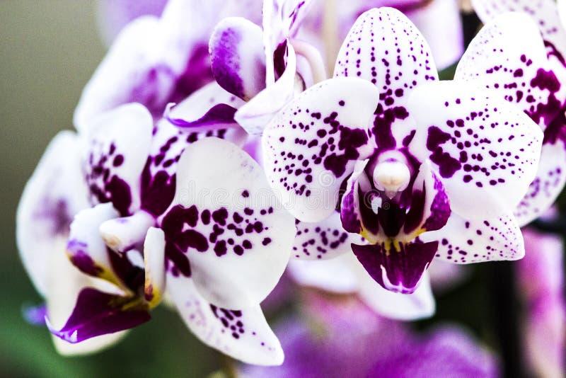 Orkidéblommor fotografering för bildbyråer