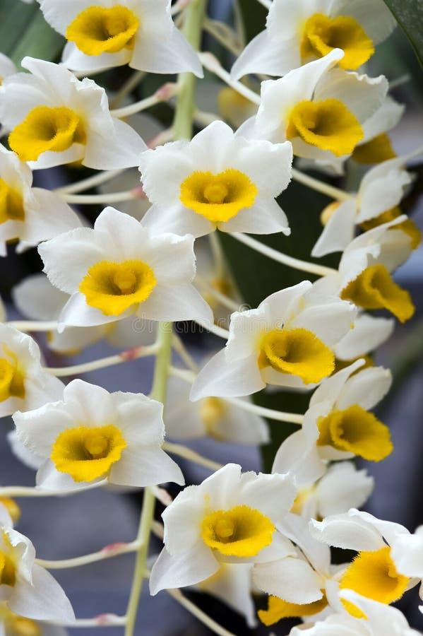 OrkidéDendrobiumthyrsiflorum royaltyfria bilder