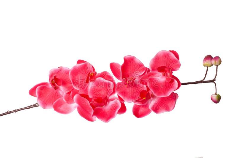 orkidéfilial med rosa blommor som isoleras på vit bakgrund arkivbild