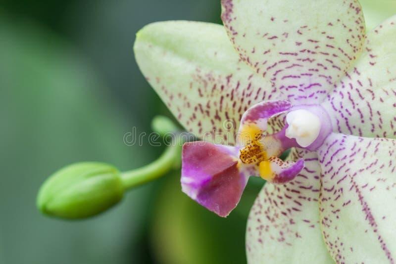 Orkidén är välkänd för de många strukturella variationerna i deras blommor royaltyfri fotografi