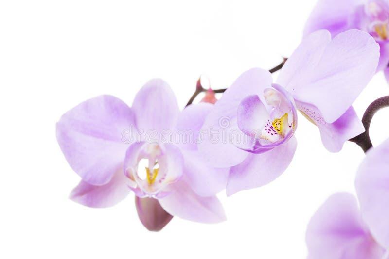 Orkidén blommar närbild royaltyfria foton